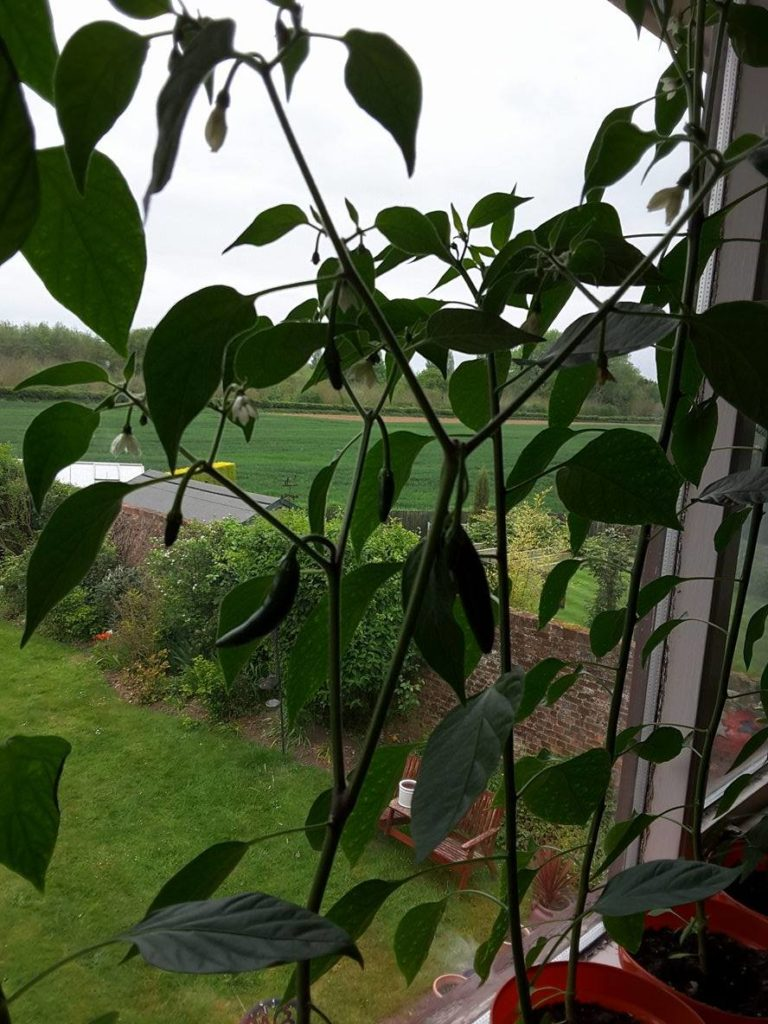Several chilli plants with chillis growing on them, in front of a window