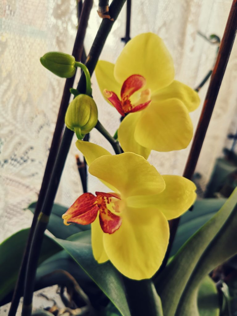 Two yellow and red orchid flowers
