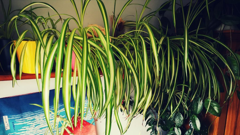 Several spider plants in brightly coloured pots on a shelf
