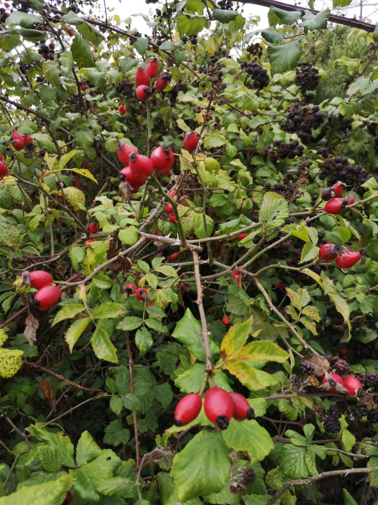 Rose-hips with blackberries in the background