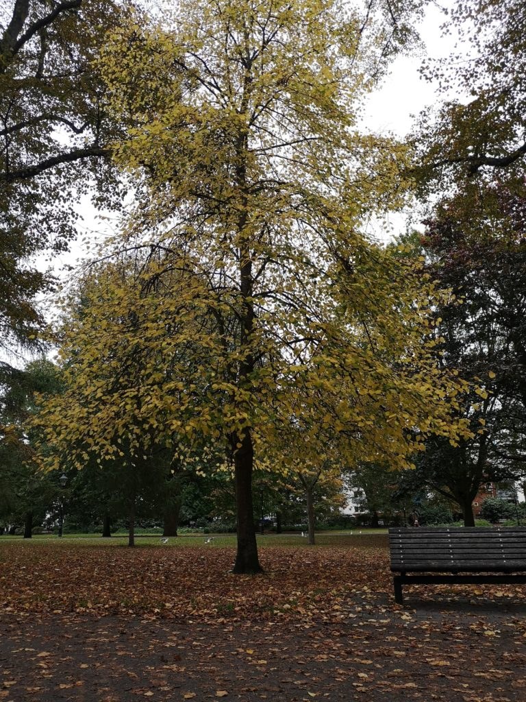 A tree with yellowing leaves, and a bench. The ground is strewn with brown leaves.