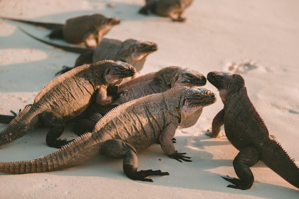 A group of Komodo Dragons on sand.