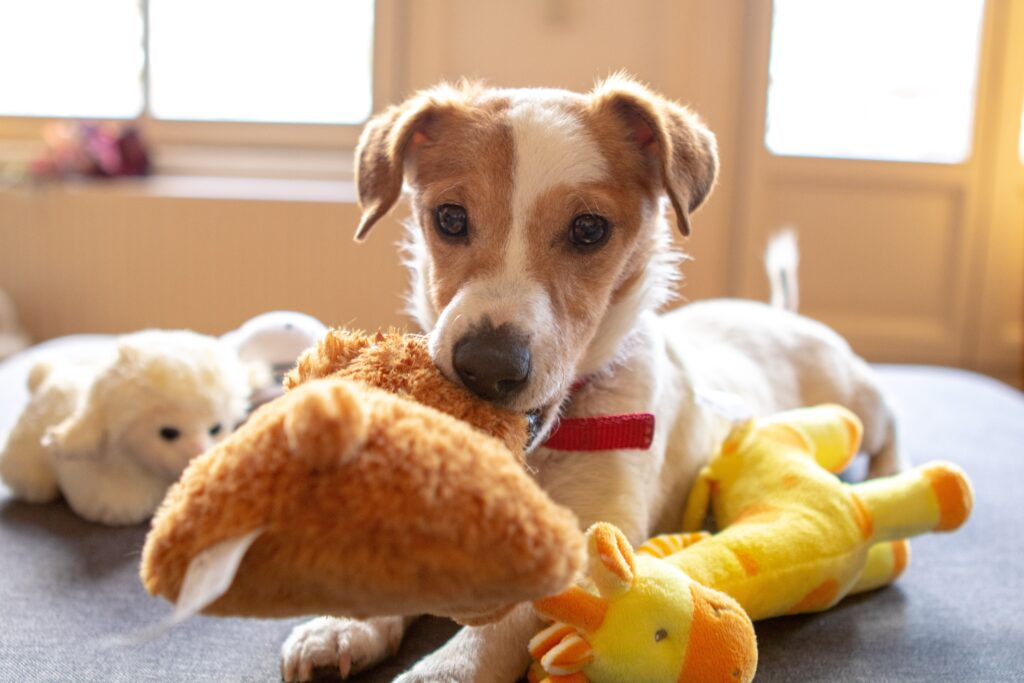 A young brown and white dog playing with a toy in its mouth and other toys laid next to it.