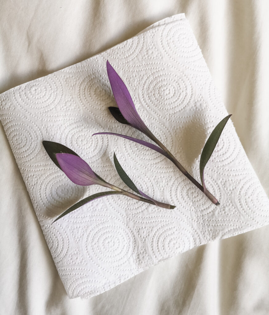 Two Tradescantia Pallida cuttings laid on a piece of kitchen roll.