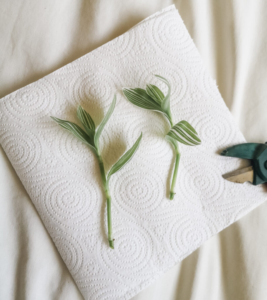 Two Tradescantia Quicksilver cuttings laid on a piece of kitchen roll, next to a pair of secateurs.