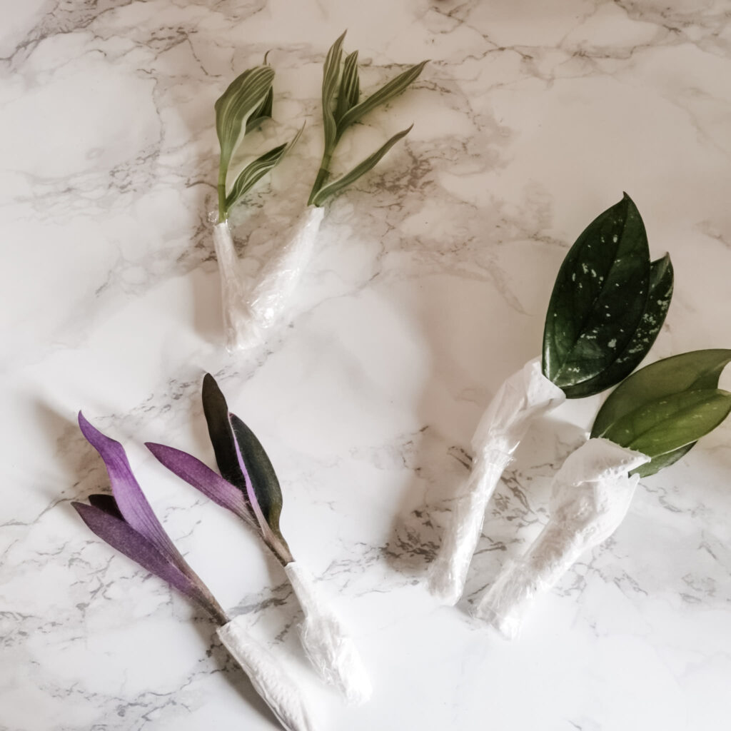 Tradescantia and Hoya cuttings after they arrived at their destination.