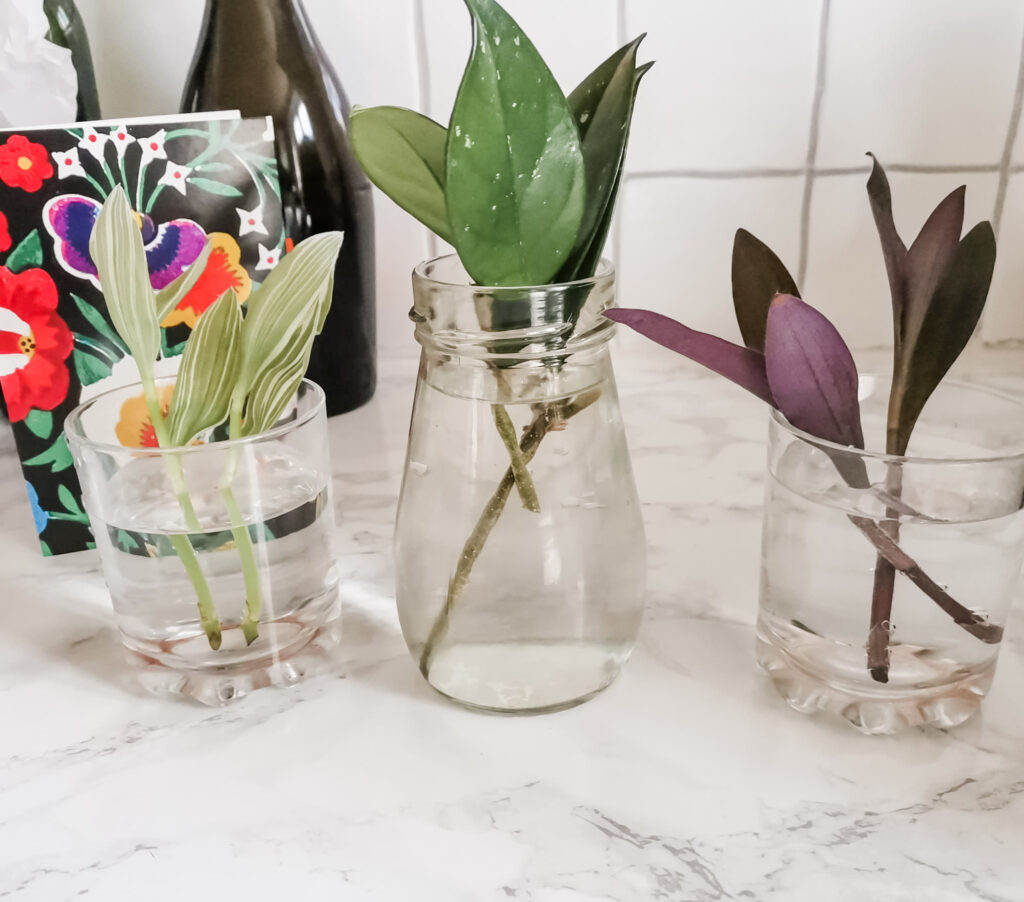 Tradescantia and Hoya cuttings in glass jars of water.
