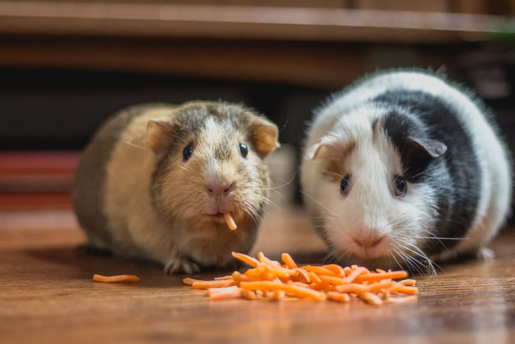 Two guinea pigs eating a pile of grated carrot.