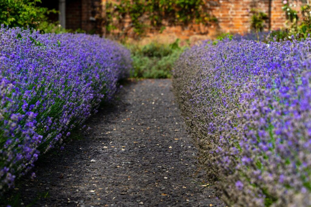 A close up view of lavender hedges running either side of a footpath in the walled garden at Mottisfont.