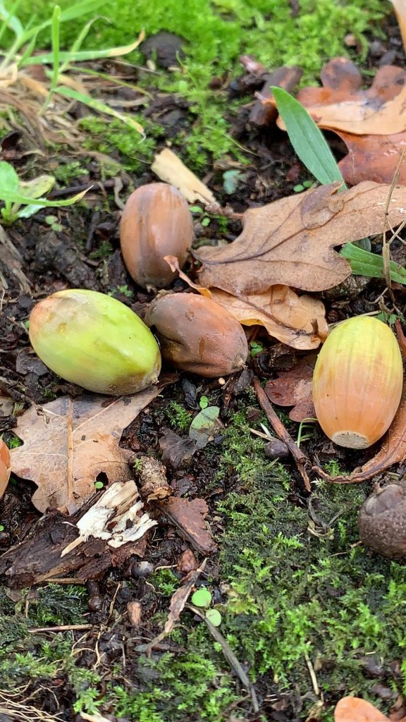 Acorns and brown fallen leaves on mossy soil
