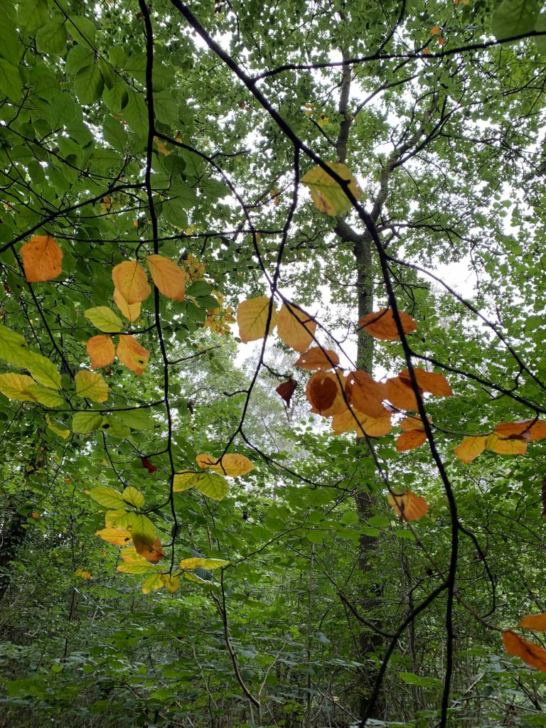 A view of a woodland canopy with green leaves starting to turn orange and brown